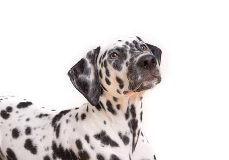 Headshot of a young Dalmatian dog isolated on white background