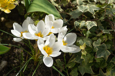 spring has come, anemones and crocuses in full bloom with bright yellow and white color