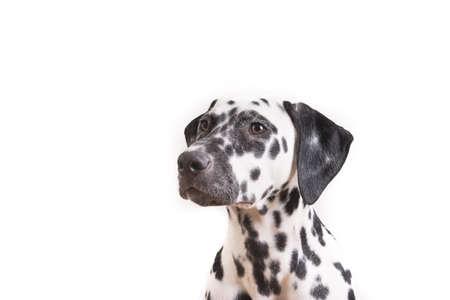 Headshot of a young Dalmatian dog isolated on white background