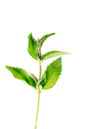 Organic Mint leaves isolated on white background