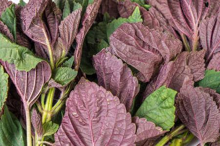 Red and green Organic amaranth leaves Close up Standard-Bild - 142762774