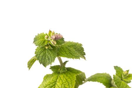 Organic Apple Mint Leaves isoalted on white Background Standard-Bild