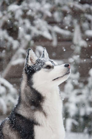 alaskan: siberian husky in the snow Stock Photo
