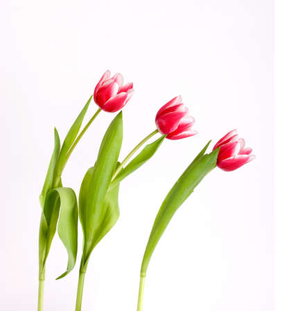 3 red tulips on white background  Stock Photo
