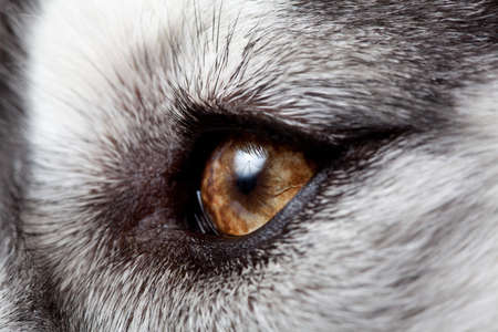 eye of siberian husky Stock Photo