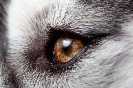 yeux de husky sib�rien