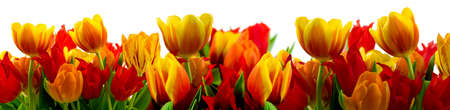 Panorama de tulipes Banque d'images