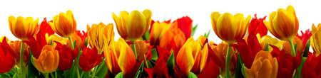 Panorama of tulips