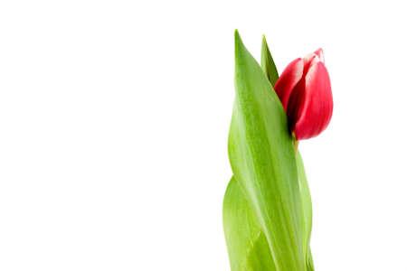 Gros plan macro de tulipes Rose Banque d'images