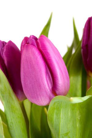 close up of puple tulip Stock Photo