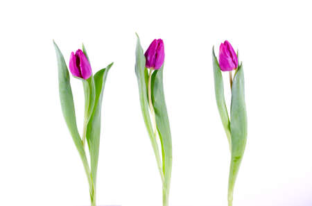 Composition of Three purple tulips Stock Photo