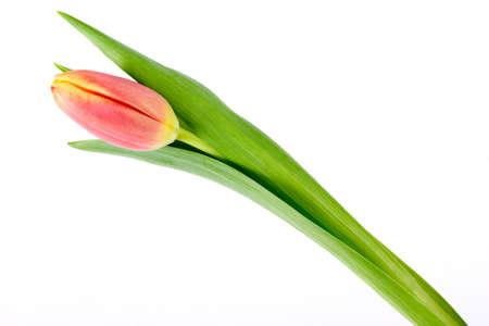 Orange yellow tulip closeup