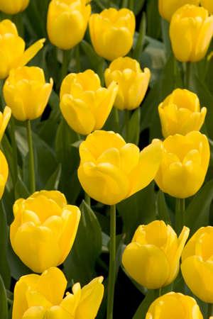tulipes jaunes multiples Banque d'images