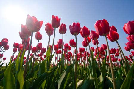 tulipes rouges avec sun Banque d'images