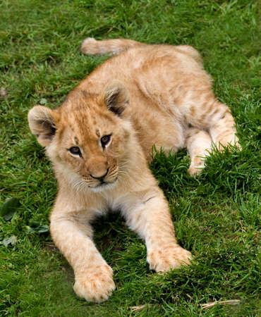 jeune lion cub