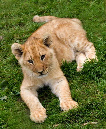 young lion cub Stock Photo