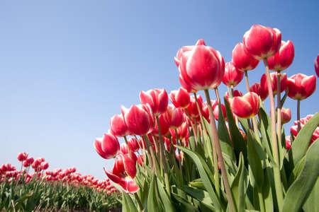 Tulipes n�erlandais