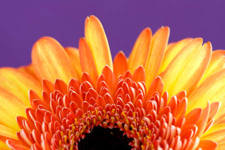 close up of yellow gerbera with purple background