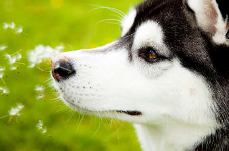 Siberian Husky in springtime Stock Photo - 8540434