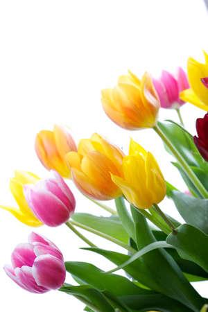 Gros plan de tulipes isol� sur fond blanc Banque d'images