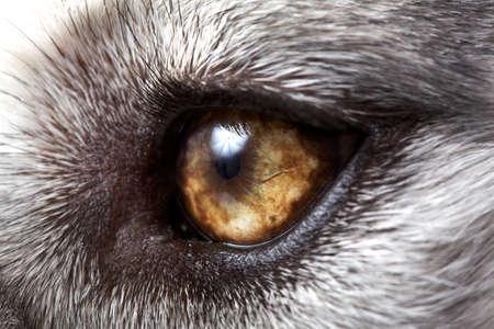 Gros plan sur Husky sib�rien
