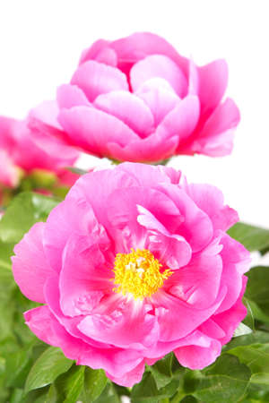 Close up of peony flower Stock Photo