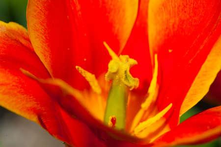 Pr�s de p�tale de tulipe