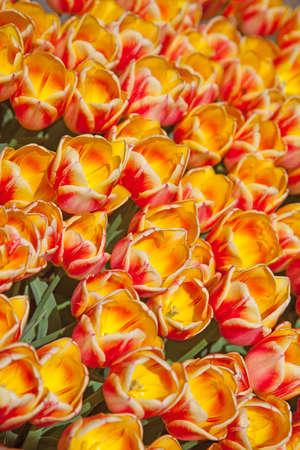 Champ de tulipes color�es