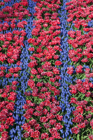 Arrangement of tulips and grape hyacinth