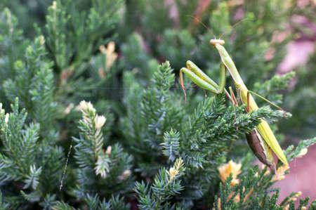 cannibal: Big green praying mantis on a green plant