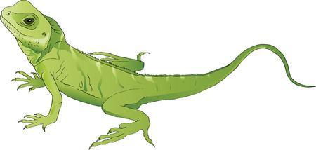 lizard: lagarto verde Vectores
