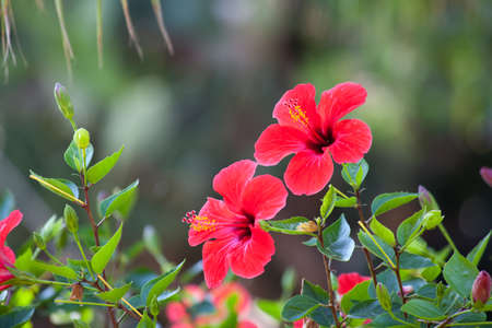 Red hibiscus flower over natural green bokeh background photo