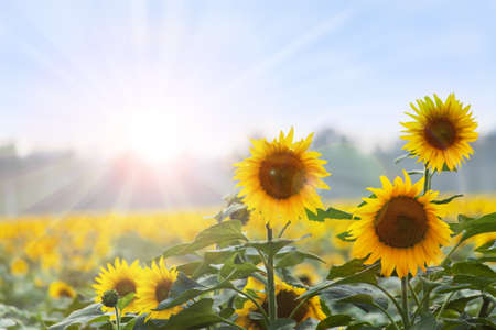 sunflower field: Summer time  Three sunflowers at dawn with natural backgroung   Stock Photo