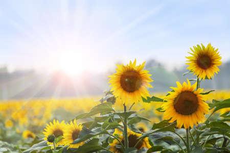 semillas de girasol: Tiempo de verano Tres girasoles al amanecer con backgroung naturales