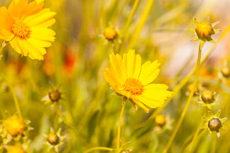 Yellow summer flowers in sunshine over natural background photo