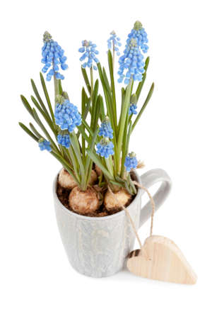 ceremic: Muscari neglectum with wooden heart shape Valentine isolated on white background