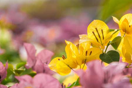 bougainvillea flowers: Orange Bougainvillea flowers Stock Photo