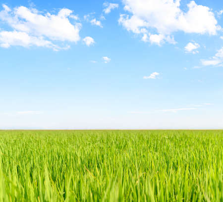 Green wheat field on a blue sky with white clouds
