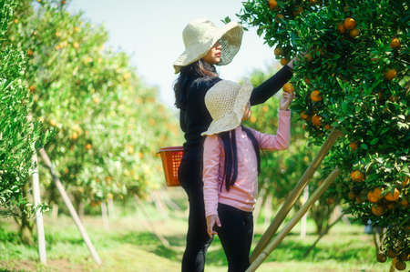 Mother and Daughter  farmer picking carefully ripe  woman picking ripe orange  in orchard 版權商用圖片