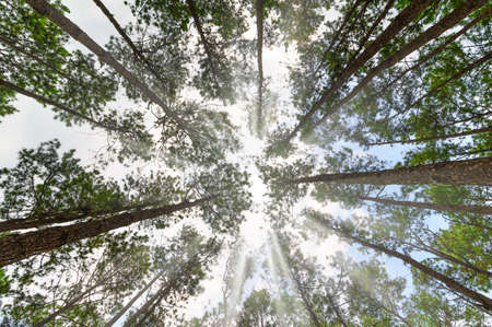 Perspective of looking up through tall forest trees towards the sky
