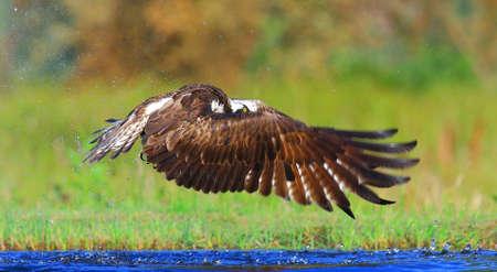 osprey: osprey fishing in scotland