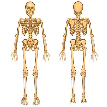squelette: Corps humain Squelette d'anatomie et Organe interne Vector Illustration