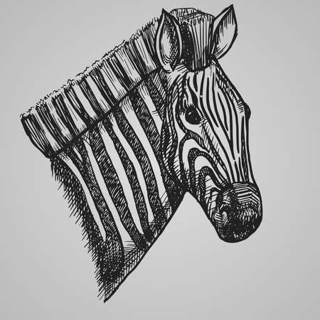 Engraving style zebra head. African horse in sketch style. Vector illustration.  10.