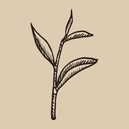 Tea leaf engraving. A beautiful and useful plant in the sketch style. Vector illustration.  10. Illustration