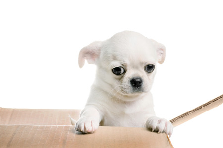 Chihuahua puppy looking out of the box. Isolated on white