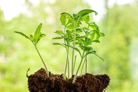 Małe młode sadzonki aganst zielone tło niewyraźne liści. Wiosenny obraz motywu Zdjęcie Seryjne
