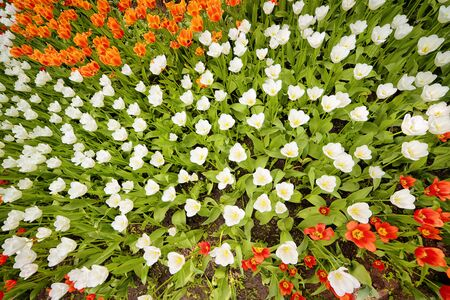 Bright red and white tulips flowerbed top view. Floral texture and background 스톡 콘텐츠