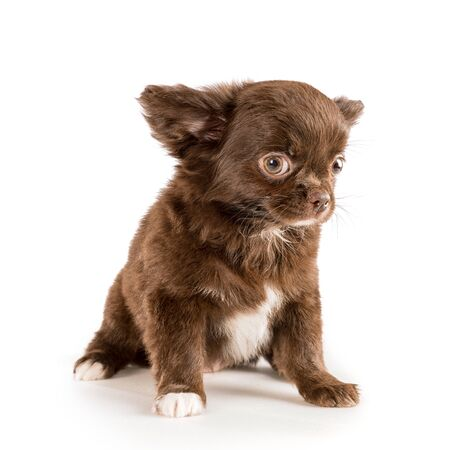 Small brown longhaired chihuahua puppy sitting and looking at camera. Isolated on white Stock Photo