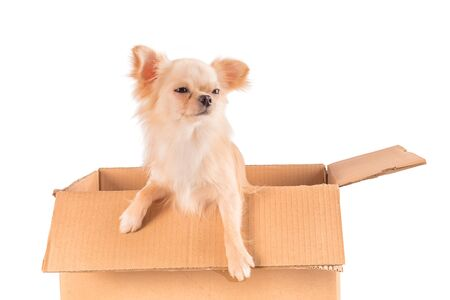White Chihuahua dog with funny wary or skeptical face sitting in the box isolated