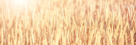 Bright golden rye field with selective focus on the ears. Panoramic image